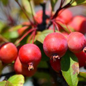 꽃사과(애기사과)