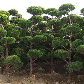 가이즈까향나무