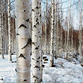 자작나무 특선