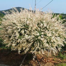 화이트핑크 셀릭스 (삼색버드나무, 무늬버들)