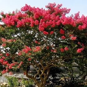 배롱나무 (목백일홍)