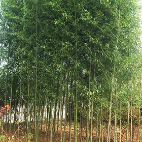 청죽 (청대나무, 왕대)