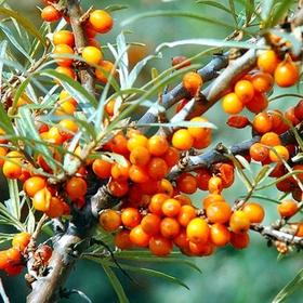 비타민나무